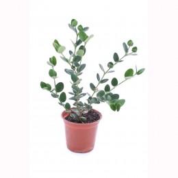 نبتة Carissa Grandiflora