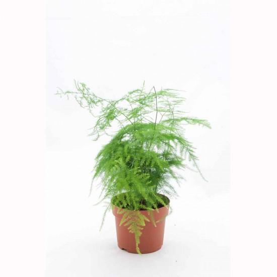 نبتة Asparagus