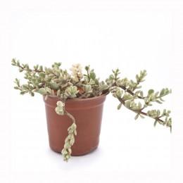 نبتة Portulacaria