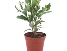 نبتة Pseuderanthemum Atropurpureum