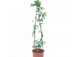 نبتة Tristellateia Australasiae