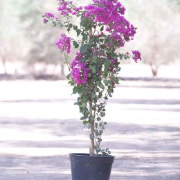 نبتة Bougainvillea Hybrid Mix