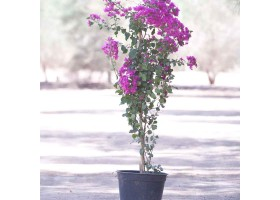 Bougainvillea Hybrid Mix