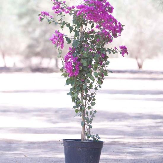 نبتة Bougainvillea Hybrid Mix