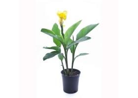 Canna Hybrid Yellow