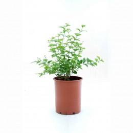 نبتة Jasminum Full
