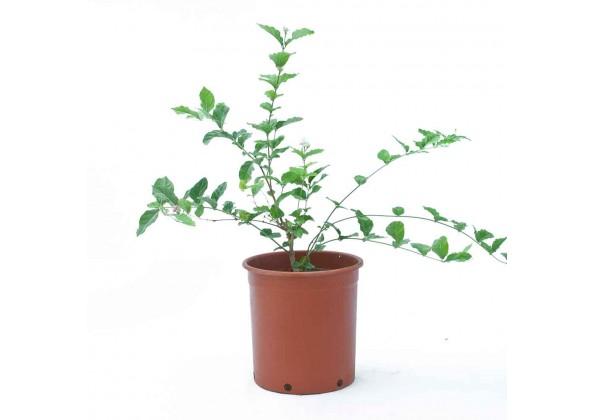نبتة Jasminum Sambac
