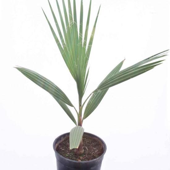 نبتة Washingtonia Filifera