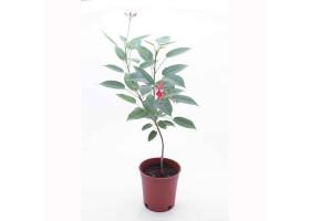 Jatropha Pandorifolia