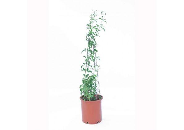 Jasminum Grandiflora