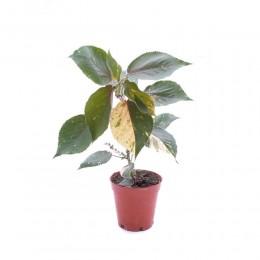 نبتة Acalypha wilkensiana marginata