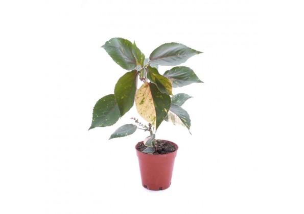 Acalypha wilkensiana marginata