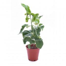 نبتة Acalypha wilkesiana hoffmanii