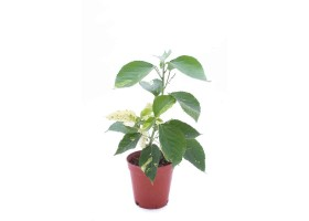 Acalypha wilkesiana java white