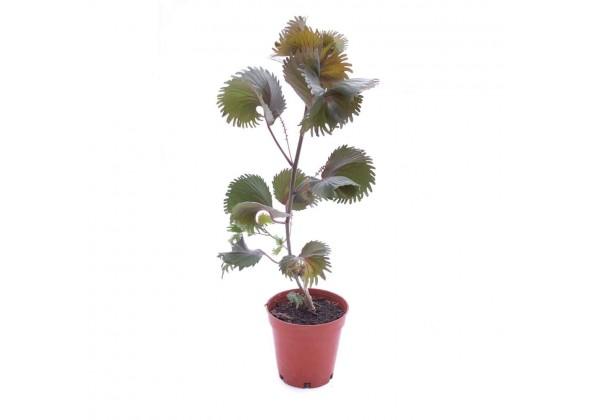 نبتة Acalypha wilkesiana moorea