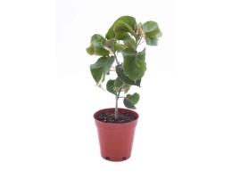 نبتة Acalypha wilkesiana tricolor