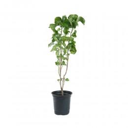 نبتة Acalypha