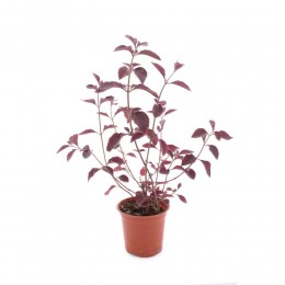 نبتة Aerva sangnowelinta