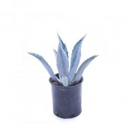 نبتة Agave atrovirens