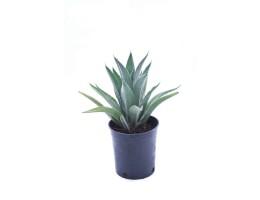 نبتة Agave attenuate