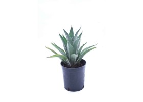 Agave attenuate