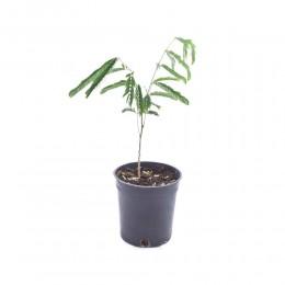 نبتة Albizia lebbeck