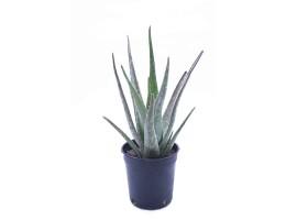 نبتة Aloe vera