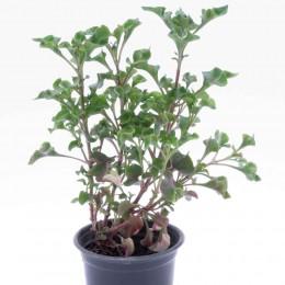 نبتة Alternathera hybid red