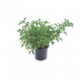نبتة Alternathera hybrid green