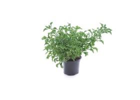 Alternathera hybrid green