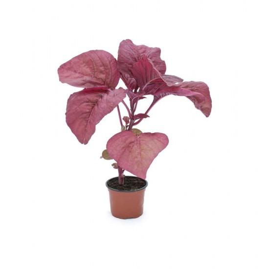 نبتة Amaranthus red