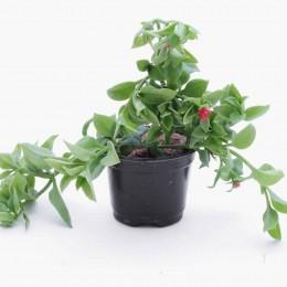 نبتة Aptenia codifolia