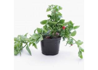 Aptenia codifolia