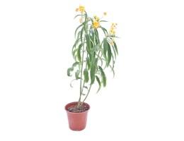 نبتة Asclipias silky gold