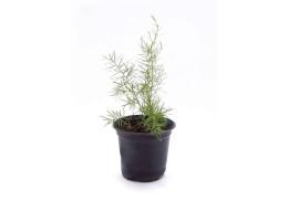 نبتة Asparagus densiflorus springeri