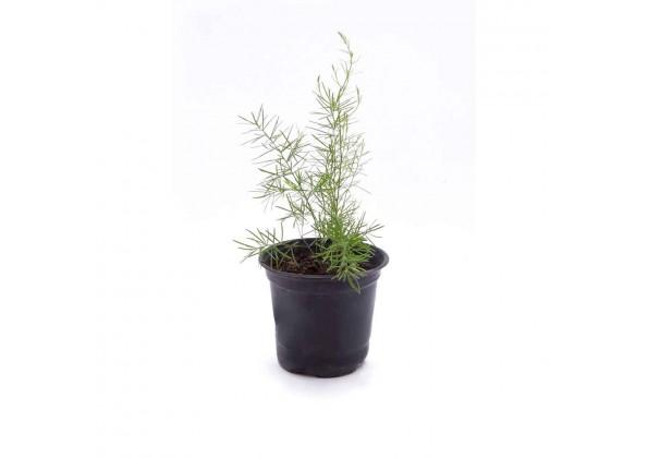 Asparagus densiflorus springeri