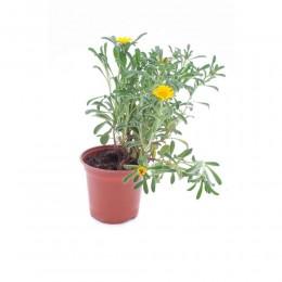 نبتة Asteriscus maritimus