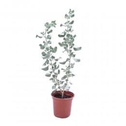 نبتة Atriplex spp. grayish green leaves