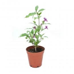 نبتة Barleria cristata Phil daisy violet