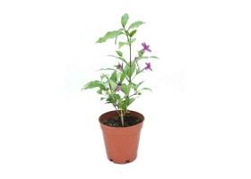 Barleria cristata Phil daisy violet