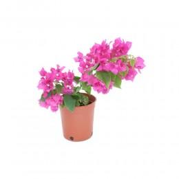 نبتة Bougainvillea hybrid bright pink