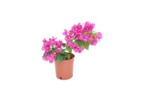 Bougainvillea hybrid bright pink