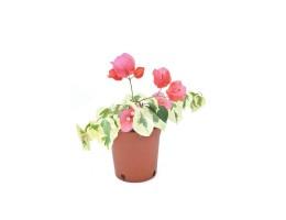 نبتة Bougainvillea hybrid variegate