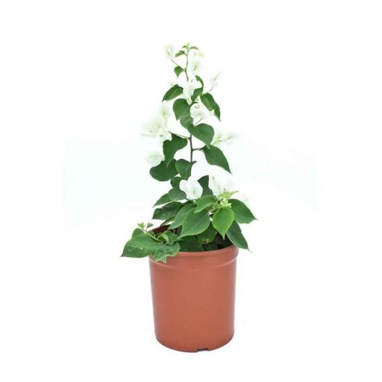 نبتة Bougainvillea hybrid white