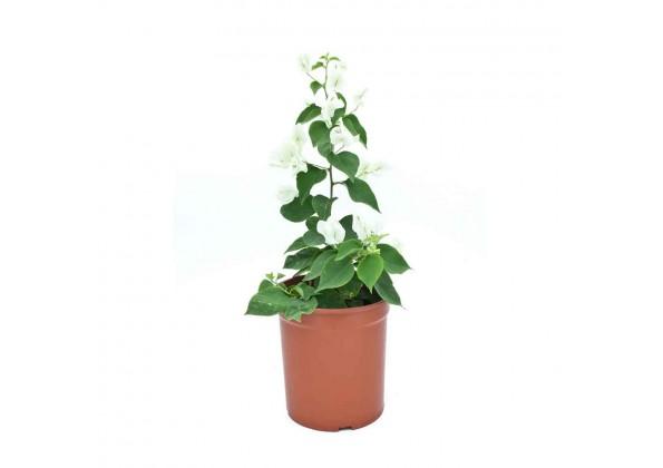 Bougainvillea hybrid white