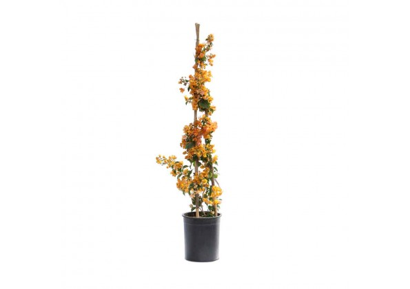 نبتة Bougainvillea Yellow