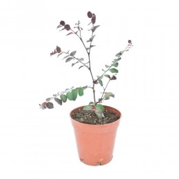 نبتة Breynia nirvosa rosea picta