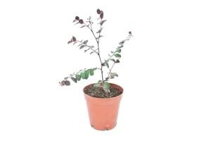 Breynia nirvosa rosea picta
