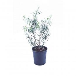 نبتة Callistemon viminalis