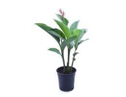 نبتة Canna hybrid red